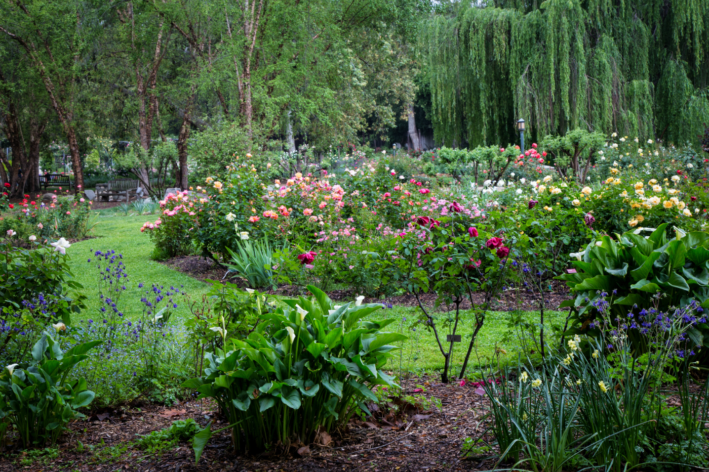 Roses In Garden: Descanso Gardens Guild