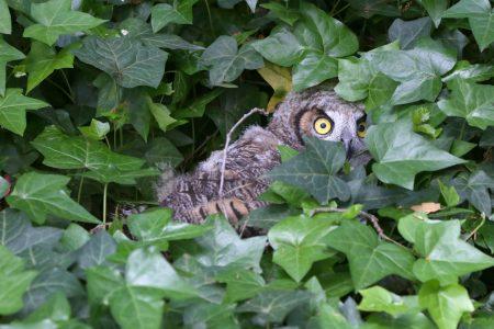 Fledgling owl