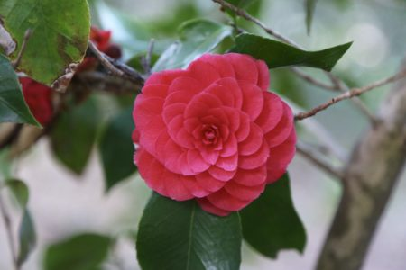 Cool Camellia Celebration @ Descanso Gardens | La Cañada Flintridge | California | United States