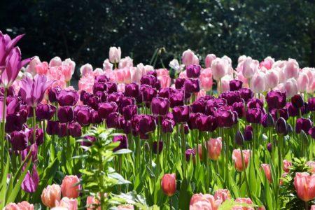 Center Circle Associates Tulip Walk @ Descanso Gardens | La Cañada Flintridge | California | United States